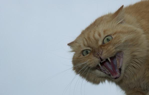 Картинка кот, рыжий, мордочка, оскал, злой, Сдохни сДОХНИТВАРЬ!