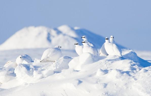 Картинка зима, снег, птицы, Арктика, куропатки, Тундряная куропатка
