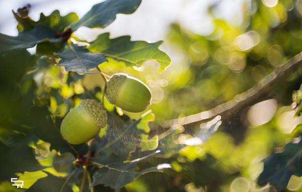 Картинка листья, солнце, свет, крупный план, блики, листва, размытие, ветка, плоды, зелёный, жёлуди