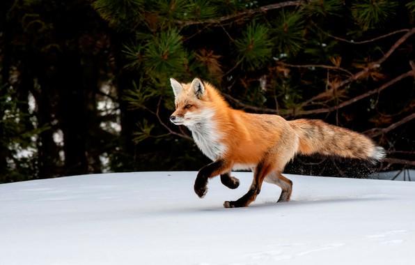 Картинка зима, снег, деревья, природа, лиса, рыжая, лисица