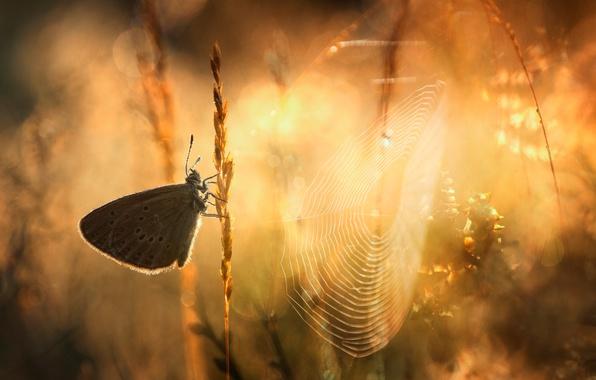 Картинка трава, макро, свет, бабочка, паутина, утро, боке