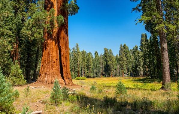 Фото обои США, лес, осень, трава, солнце, Sequoia and Kings National Park, деревья, опушка