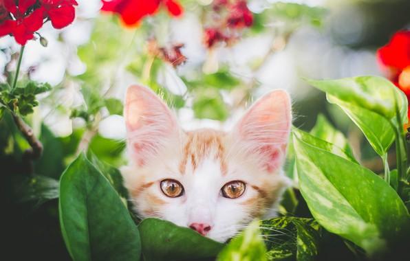 Картинка взгляд, листья, цветы, мордочка, котёнок