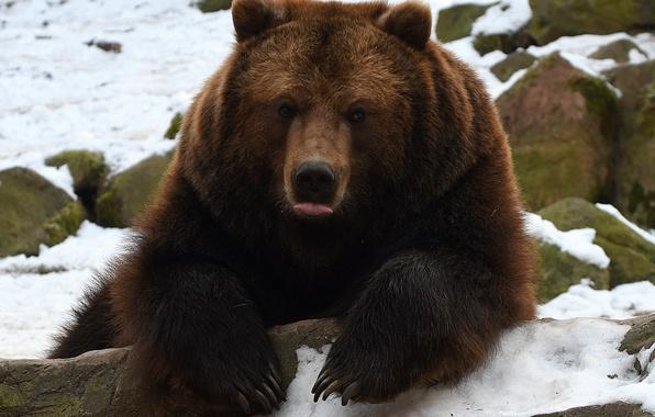 Картинка язык, морда, лапы, медведь