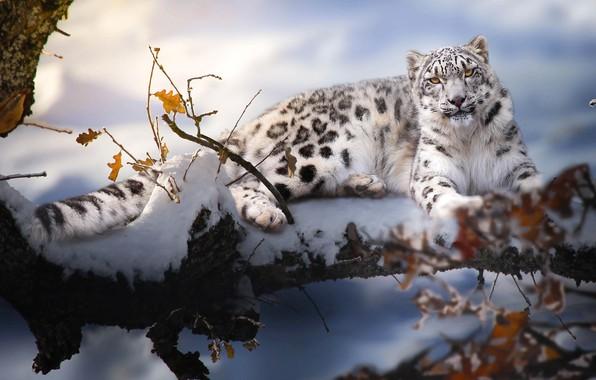 Картинка зима, снег, ветки, природа, животное, хищник, ирбис, барс, Thai Phung