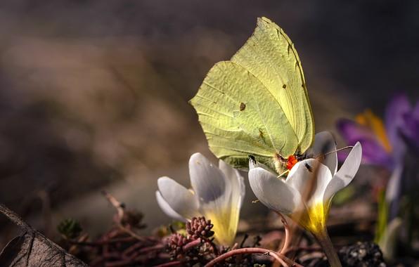 Картинка цветы, бабочка, весна, боке, Крокусы, мухи, Крушинница, Лимонница, Шафран