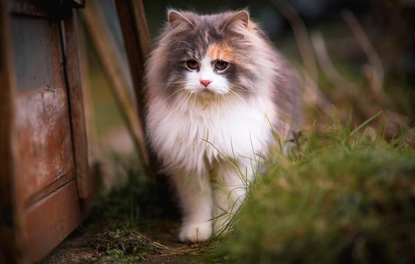 Картинка кошка, трава, кот, взгляд, котенок, фон, доски, портрет, размытие, весна, мордочка, двор, прогулка, красотка, котёнок, …