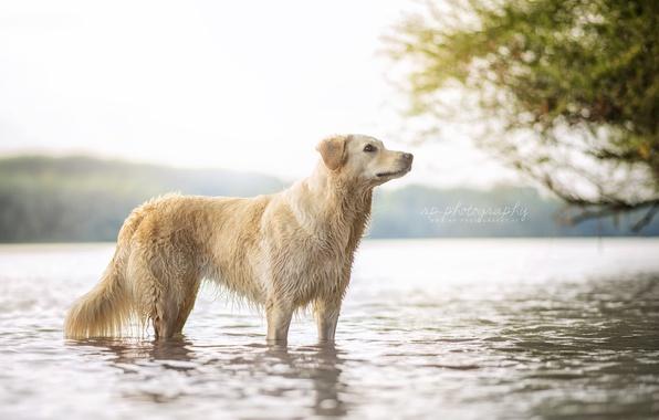 Картинка природа, река, собака