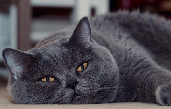 Картинка кот, взгляд, мордочка, котэ, котофей, Британская короткошёрстная кошка