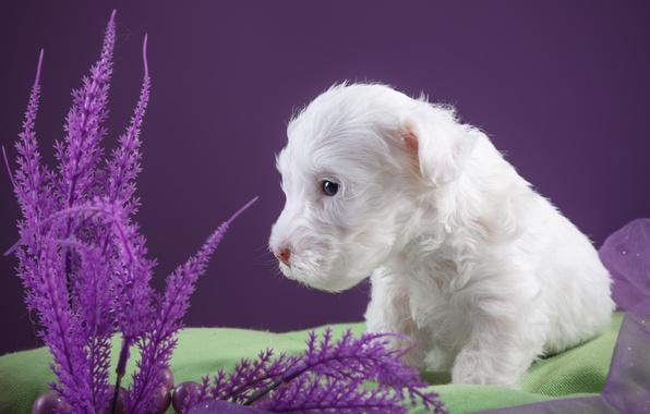 Картинка белый, щенок, ткань, силихем-терьер