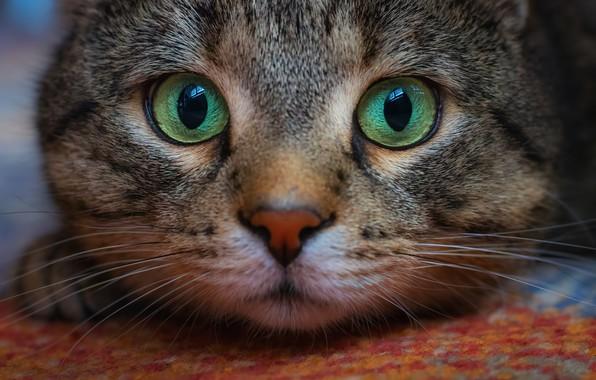 Картинка кот, взгляд, мордочка, котэ, глазища, котейка