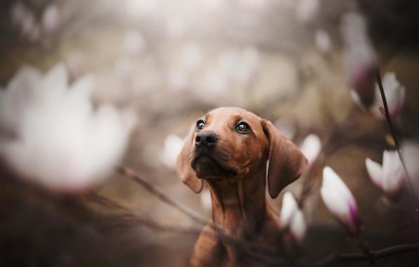 Фото обои собака, мордашка, боке, пёсик, магнолия, Такса
