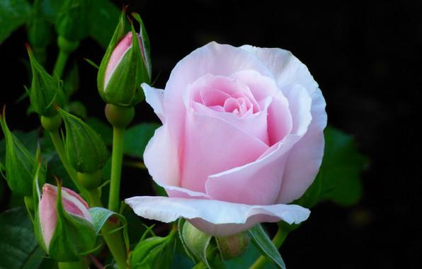 Картинка цветок, розовая, роза, куст, бутоны