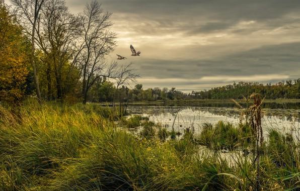 Картинка лес, небо, трава, деревья, птицы, тучи, озеро, пасмурно, США, Minnesota, Chisago