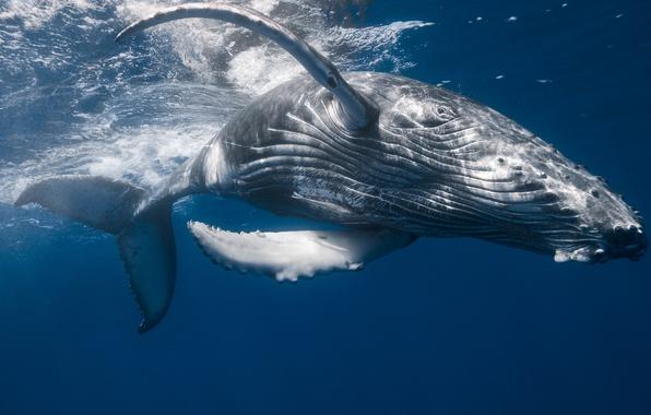 Фото обои под водой, кит, горбач, Горбатый кит, океан, большая рыбины, море