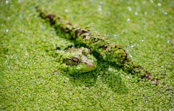 Картинка природа, болото, лягушка