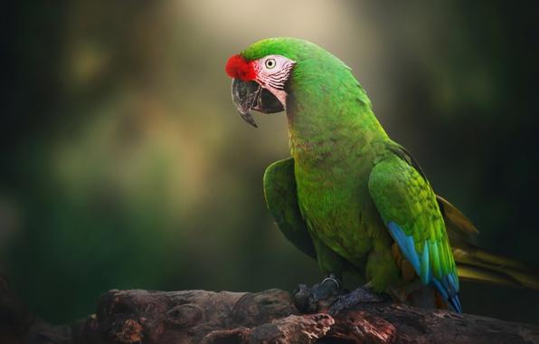 Картинка птица, попугай, Солдатский ара