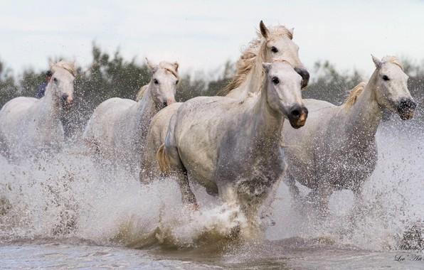 Картинка брызги, движение, кони, лошади, бег, водоём, галоп, табун, скачка