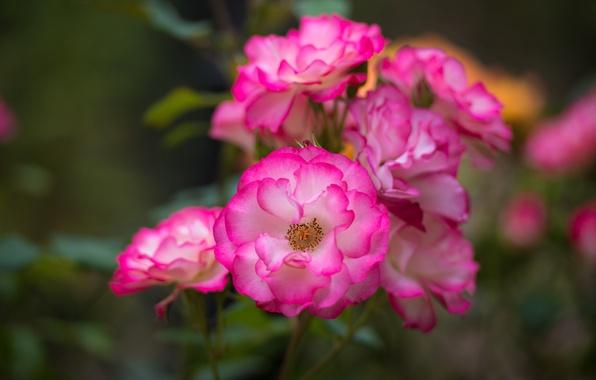 Картинка макро, розы, лепестки