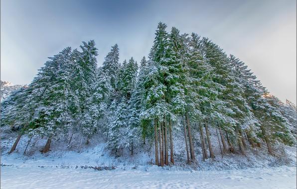 Картинка зима, ёлки, еловый лес