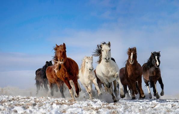 Фото обои табун, снег, лошади, небо
