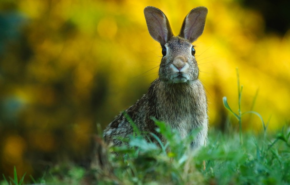 Картинка зелень, трава, взгляд, фон, заяц, портрет, уши, мордашка, зайчик, настороже, дикая природа, боке, грызун