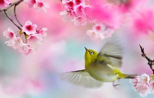 Картинка ветки, весна, сакура, полёт, птичка, белоглазка, FuYi Chen, белый глаз, птицы мира