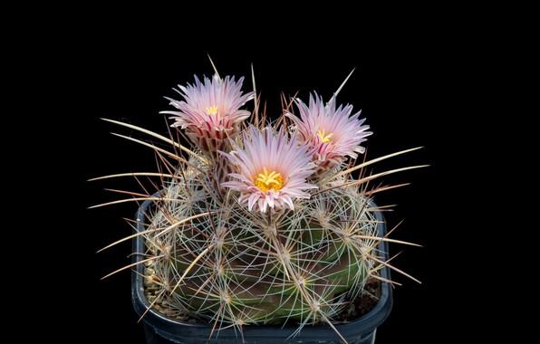 Картинка макро, кактус, колючки, шипы, черный фон, розовые цветы