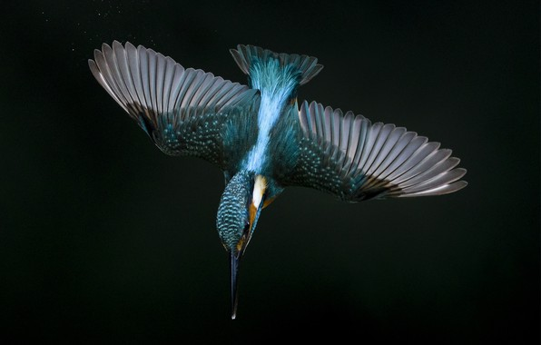 Картинка полет, крылья, зимородок, пике