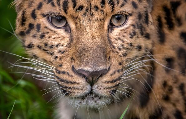 Фото обои взгляд, портрет, леопард