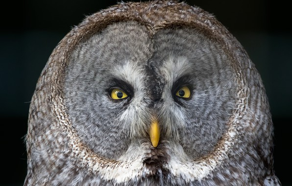 Картинка взгляд, природа, сова, птица