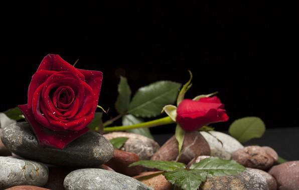 Картинка цветок, камни, роза, бутон