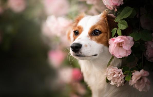 Картинка взгляд, морда, цветы, портрет, розы, собака, боке