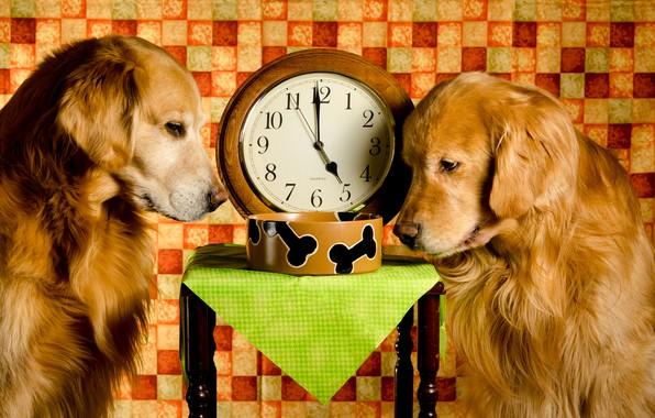 Картинка собаки, время, две, часы, ситуация, миска, рыжие, золотистый, обед, ретривер, табурет, Dinner Time
