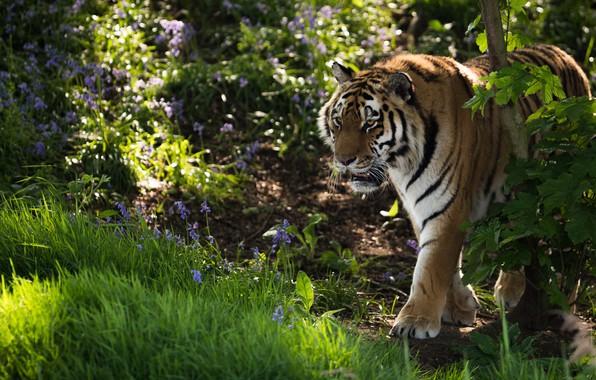 Картинка трава, цветы, тигр, дикая кошка