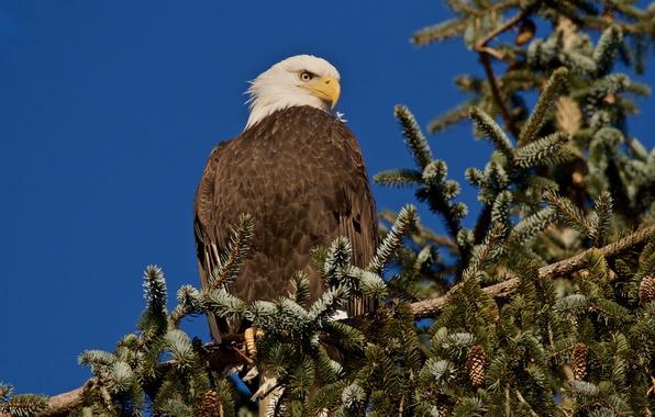 Картинка фон, дерево, птица, ель, ветка, Белоголовый орлан