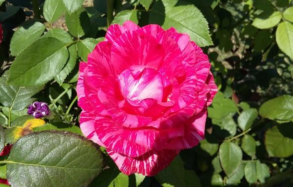 Картинка листья, цветы, роза, лепестки