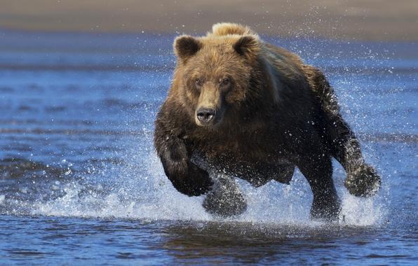Картинка вода, брызги, медведь, бег, топтыгин, бегущий медведь