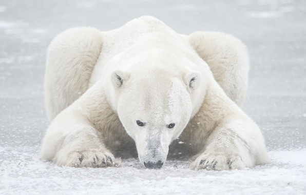Картинка зима, снег, мишка, белый медведь, север