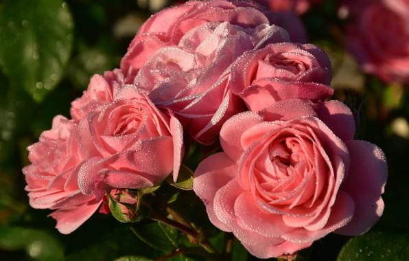 Картинка капли, роса, розы, лепестки, бутоны