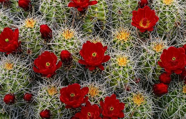 Картинка иголки, колючки, кактусы, бутоны, цветение, алые цветы