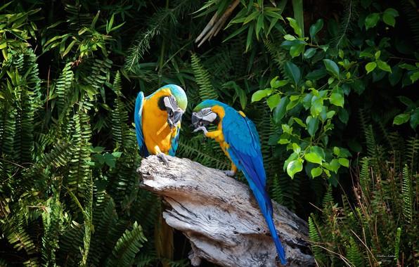 Фото обои пара, попугаи, пень, природа, деревья, ары