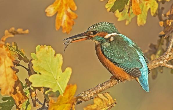 Картинка осень, листья, птица, рыбка, ветка, дуб, зимородок, улов