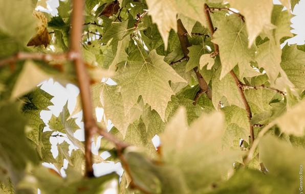Картинка лето, листья, макро, ветки, листва, зелёный
