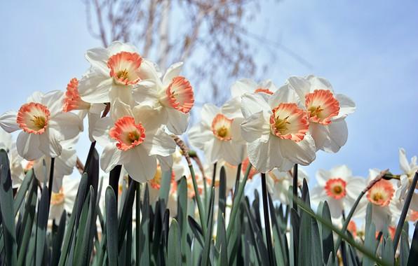 Картинка Цветы, Весна, Цветение, Нарциссы
