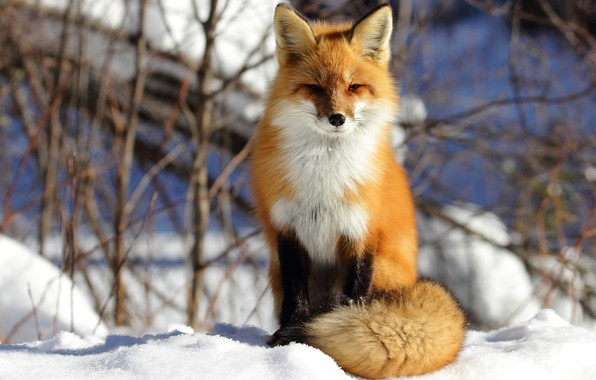 Картинка зима, снег, ветки, природа, фон, лиса, хвост, рыжая, сидит, лисица