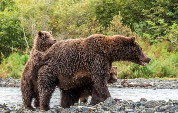 Картинка лес, деревья, брызги, природа, ручей, камни, медведи, медвежата, мокрые, боке, медведица, бурые
