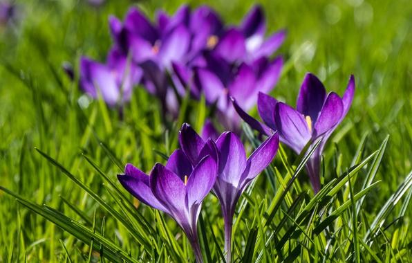 Картинка весна, крокусы, боке, шафран