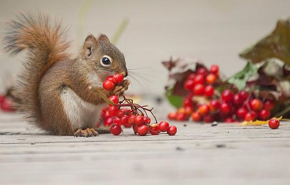 Картинка ягоды, животное, белка, грызун, калина