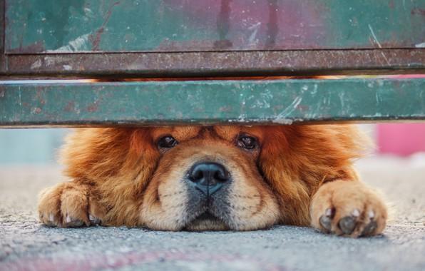 Картинка взгляд, забор, собака, Чау-чау
